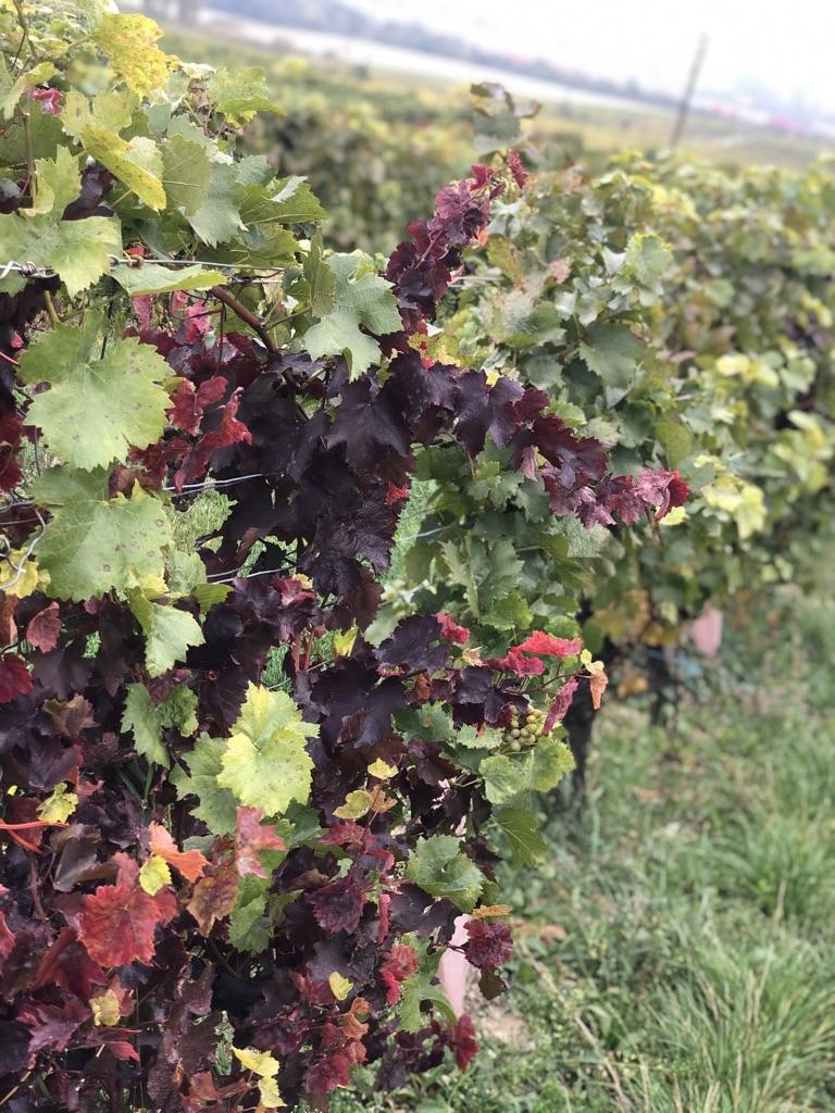 Winnica w październiku.